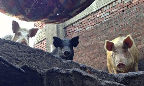 Pigs-in-Cairos-Manshiyet--011